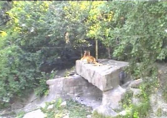 Zurich Zoo Live Streaming Tiger Cam, Switzerland