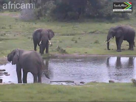 Wild Elephants Live Streaming African Safari Animal Cam, Tembe, South Africa