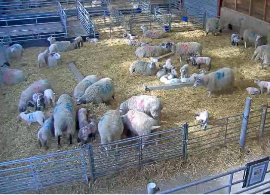 Baby Lambs Web Cam Mead Open Farm Park Leighton Buzzard Bedfordshire