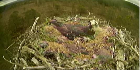 Loch Garten Live Osprey Nest Cam Stream Feed Abernethy National Nature Reserve
