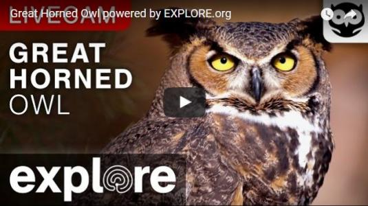 Live Owls Nest Cam Stream Feed Great Horned Owl Birds Nest Montana